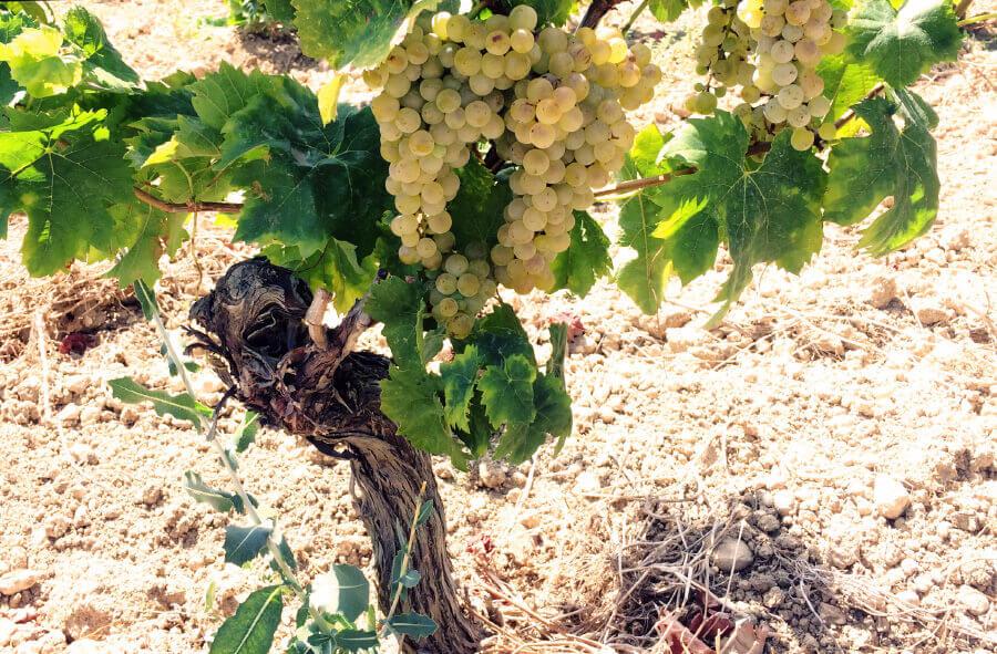 Old vine Catarratto